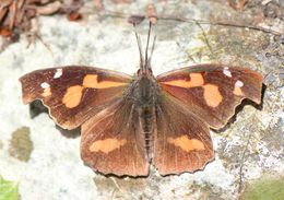 Image of <i>Libythea lepita</i> Moore 1857