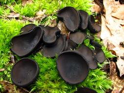 Image of black false plectania