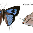 Image of <i>Ancema ctesia</i> (Hewitson (1865))
