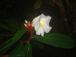 Image of Malay Ginger