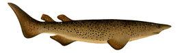 Image of Bramble Shark