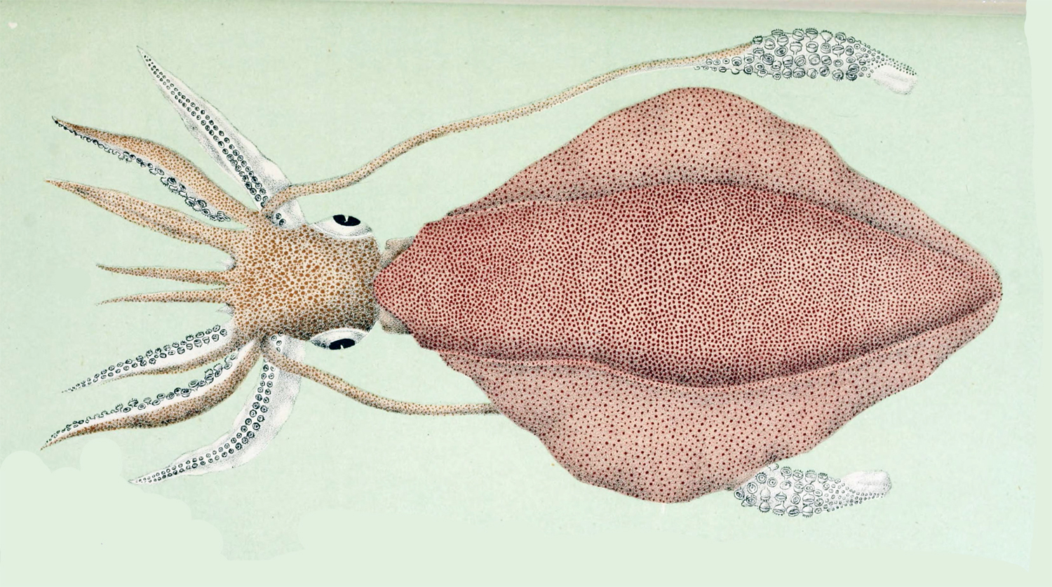 Image of Southern reef squid