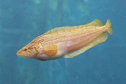 Image of Giant Kelpfish