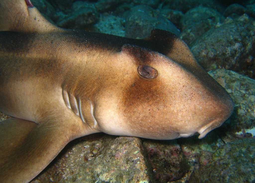 Image of Crested Bullhead Shark