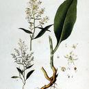 Image of broadleaved pepperweed