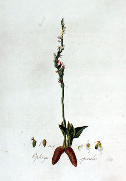 Image of Autumn Lady's-tresses