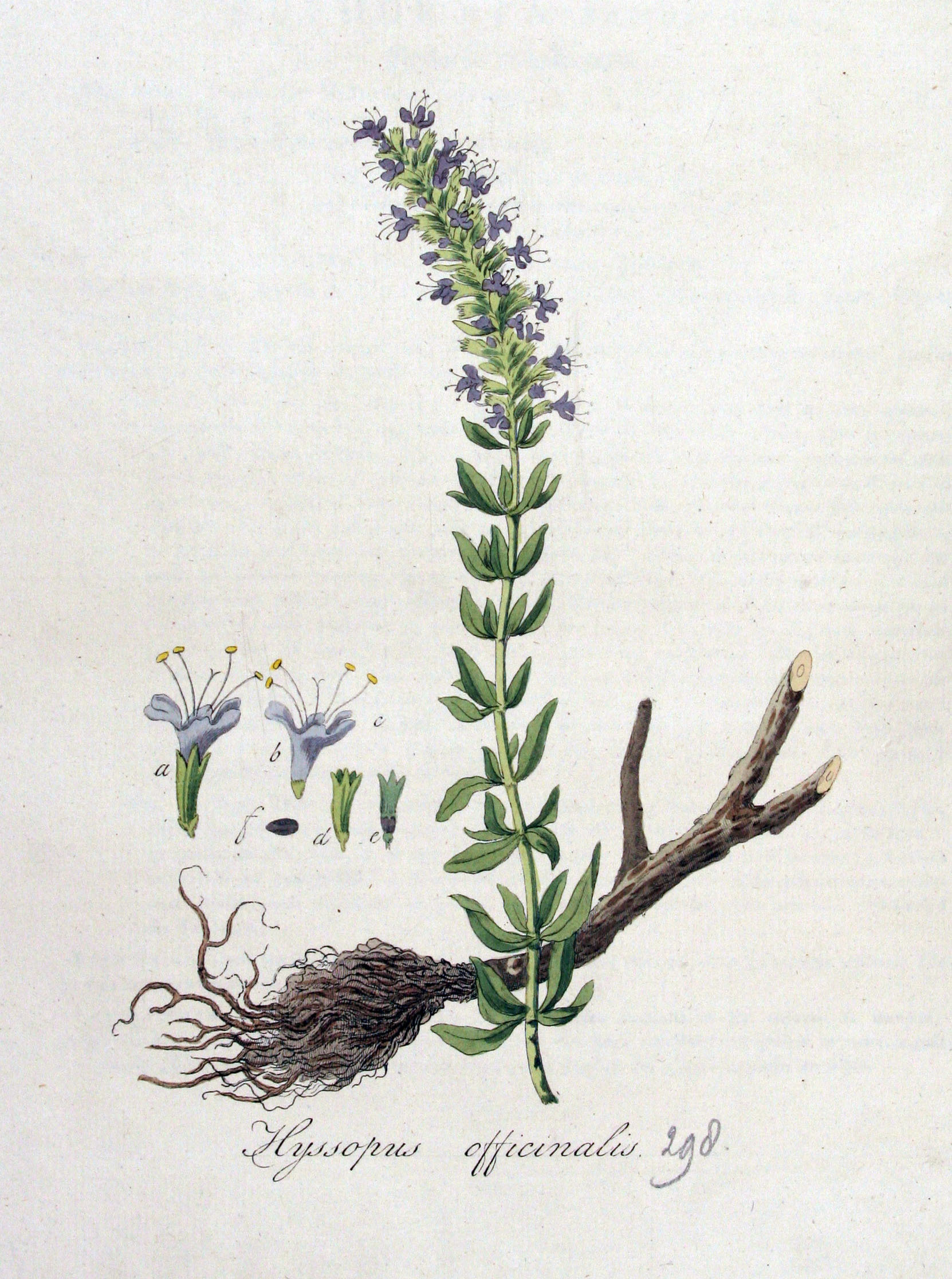 Image of hyssop