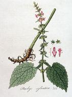 Image of hedge nettle
