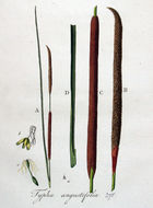 Image of <i>Typha angustifolia</i> L.