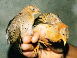 Image of Yellow-legged Buttonquail