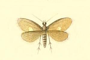 Image of <i>Lampronia psychidella</i>