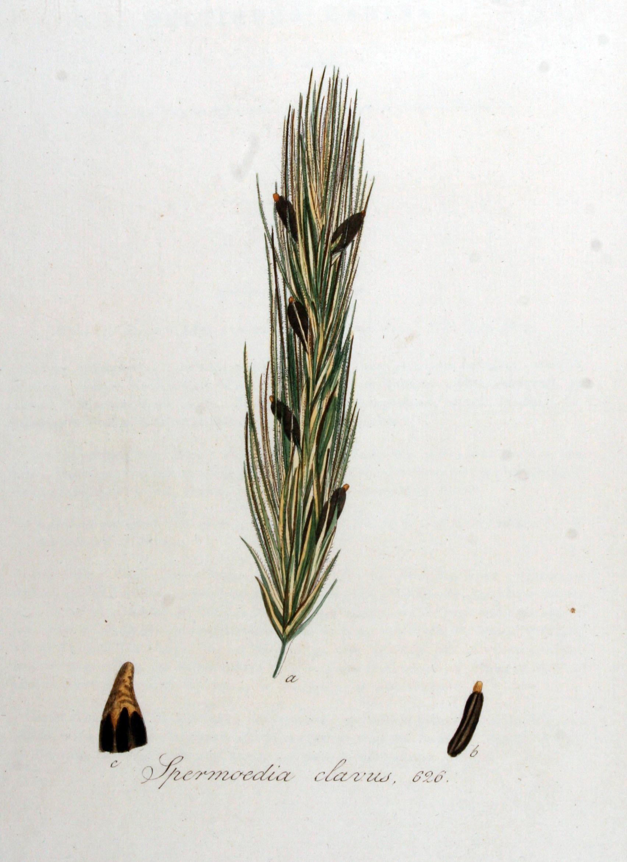Image of <i>Claviceps purpurea</i> (Fr.) Tul. 1853