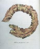 Image of <i>Porphyra purpurea</i>