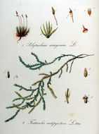 Image of antifever fontinalis moss