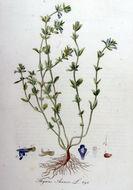 Image of <i>Acinos arvensis</i>