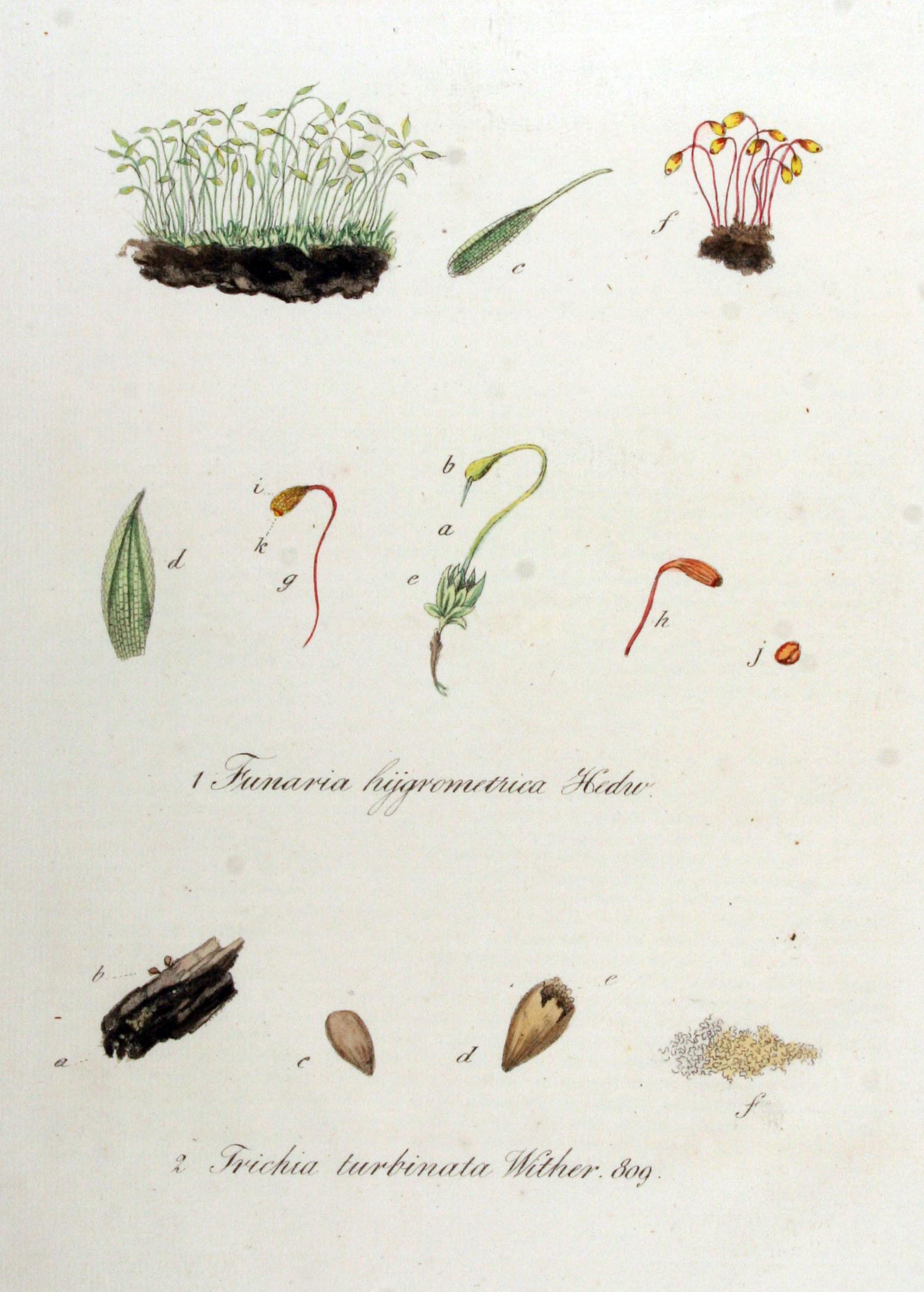 Image of Trichia