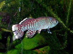 Image of Nothobranchius eggersi