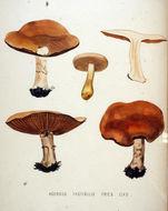 Image of <i>Hebeloma fastibile</i>
