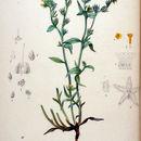 Image of <i>Amsinckia lycopsoides</i> Lehm.