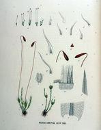 Image of <i>Ceratodon purpureus</i> Bridel 1826