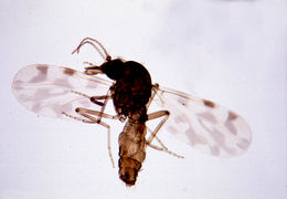 Image of Culicoides
