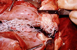 Image of Heartworm