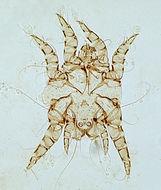 Image of Otodectes