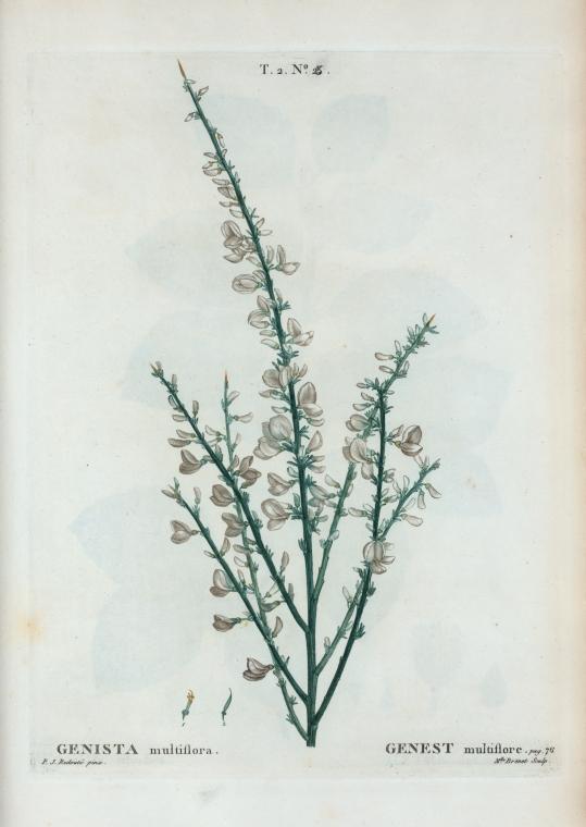 Image of white spanishbroom