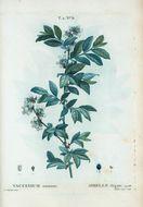 Image of smallflower blueberry
