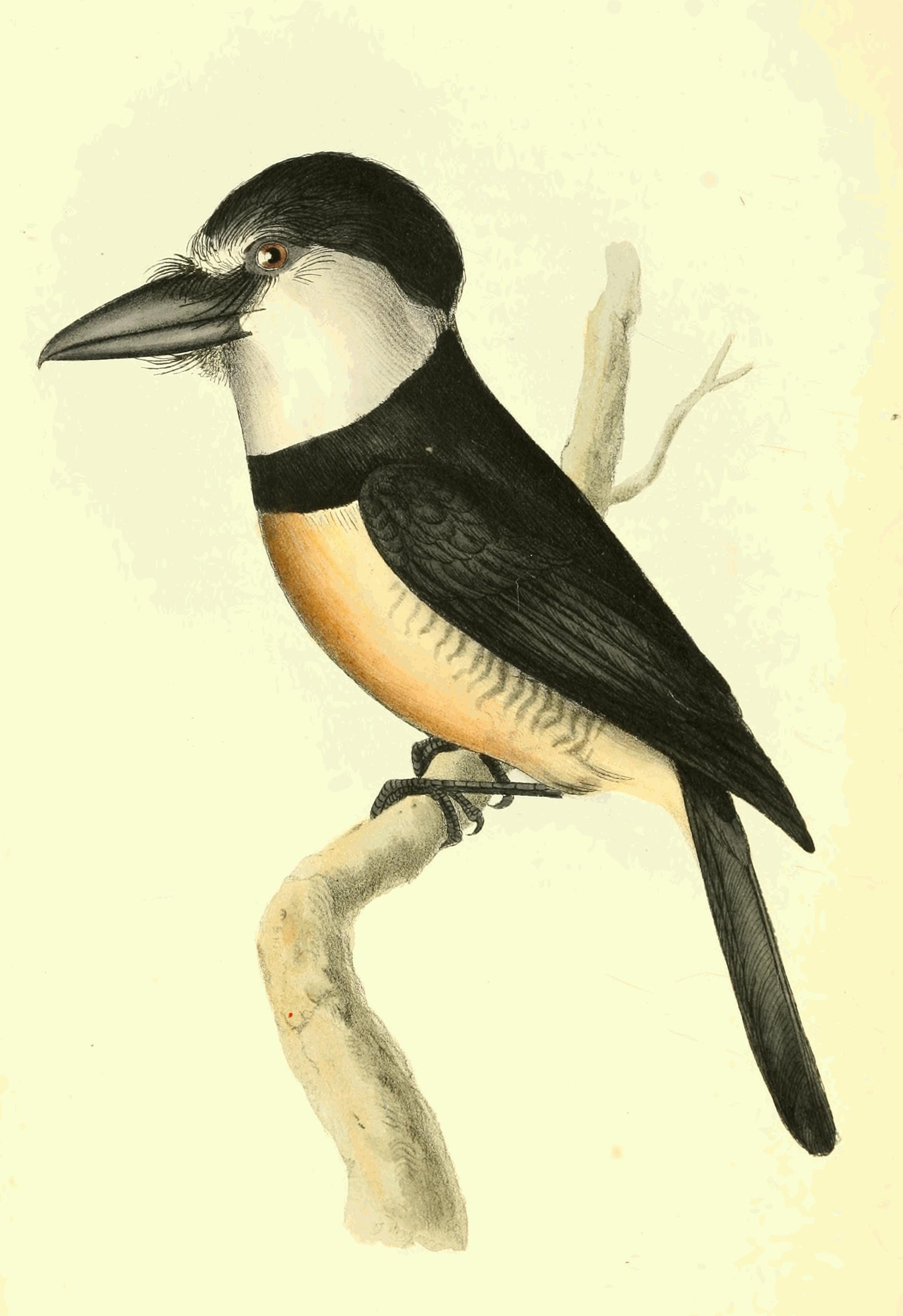 Image of Notharchus macrorhynchos