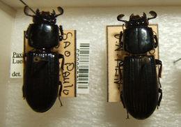 Image of <i>Paxillus pentataphylloides</i>