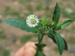 Image of false daisy