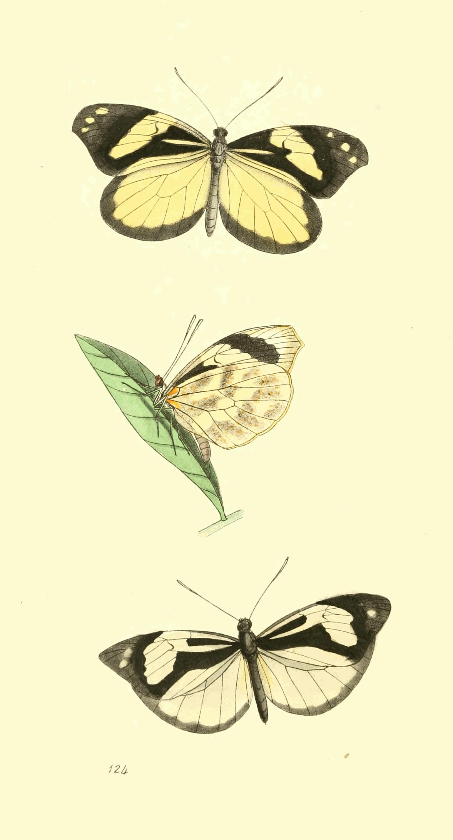 Image of <i>Dismorphia crisia</i> (Drury 1782)