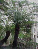 Image of <i>Dicksonia antarctica</i>