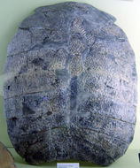Image of Narrow-headed Softshell Turtle