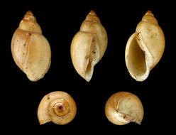 Image of acute bladder snail
