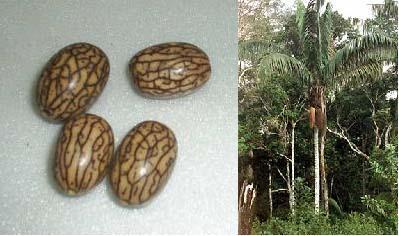 Image of <i>Oenocarpus bataua</i> Mart.