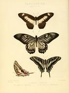 Image of <i>Chilasa veiovis</i> (Hewitson 1853)