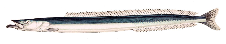 Image of Great Sand Eel