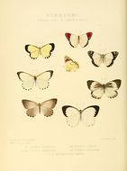 Image of <i>Colotis celimene</i> (Lucas 1852)