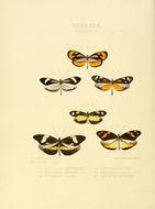 Image of <i>Dismorphia zathoe</i> (Hewitson (1858))