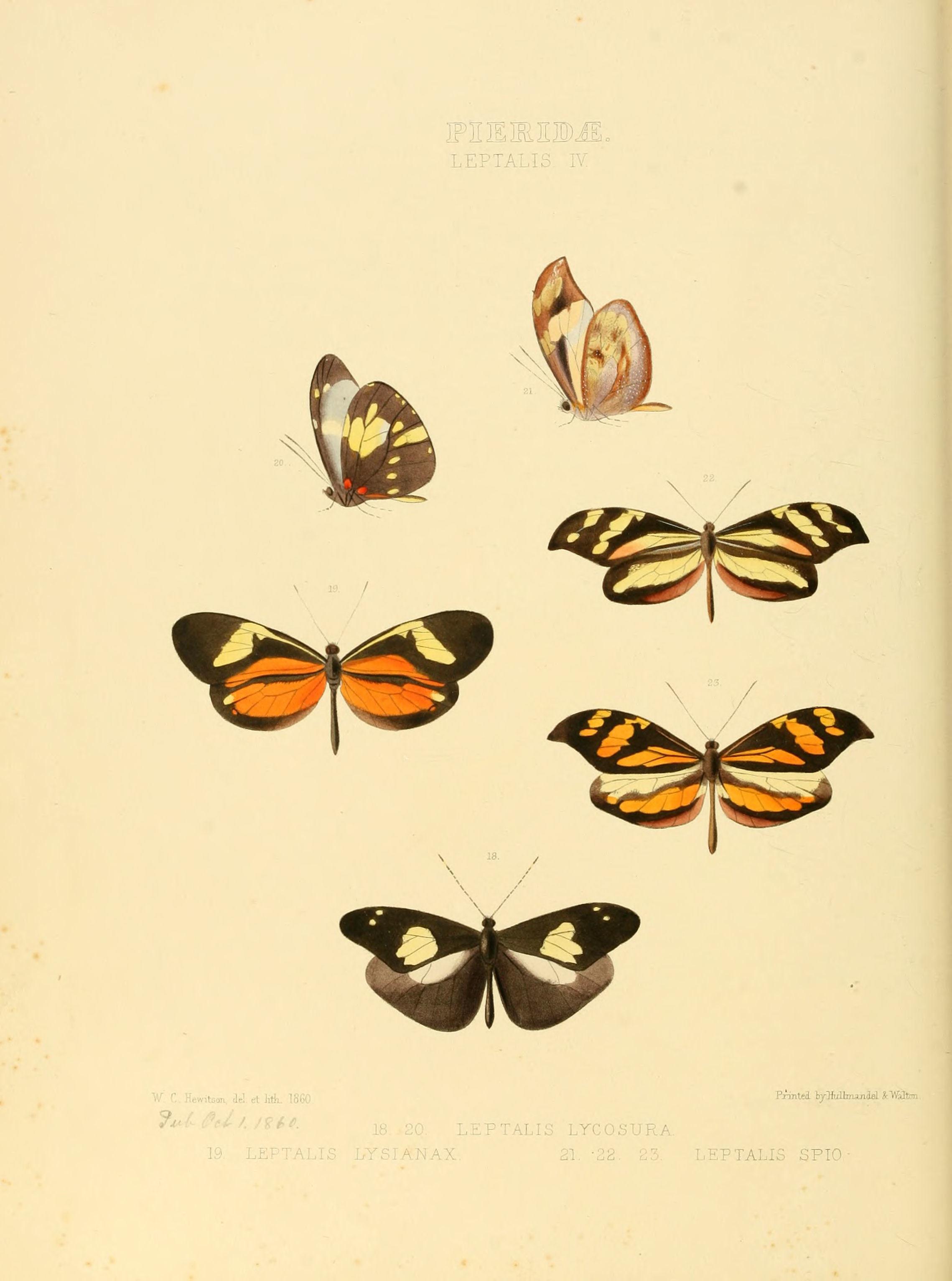Image of <i>Dismorphia spio</i> (Godart 1819)