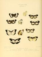 Image of <i>Dismorphia lygdamis</i> (Hewitson 1869)