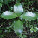 Image of <i>Laurelia novae-zelandiae</i>