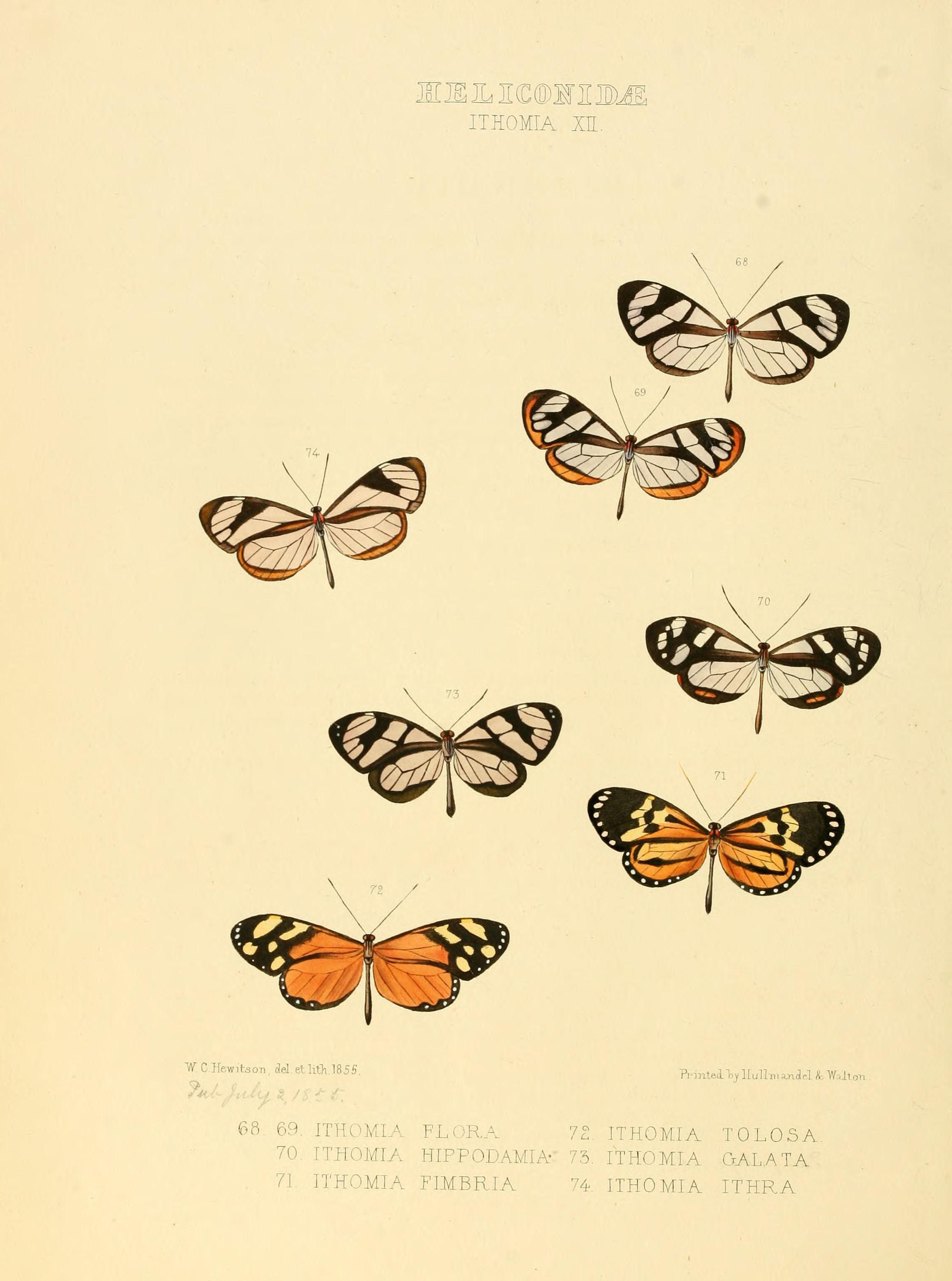 Image of <i>Napeogenes sylphis</i> Guérin 1844