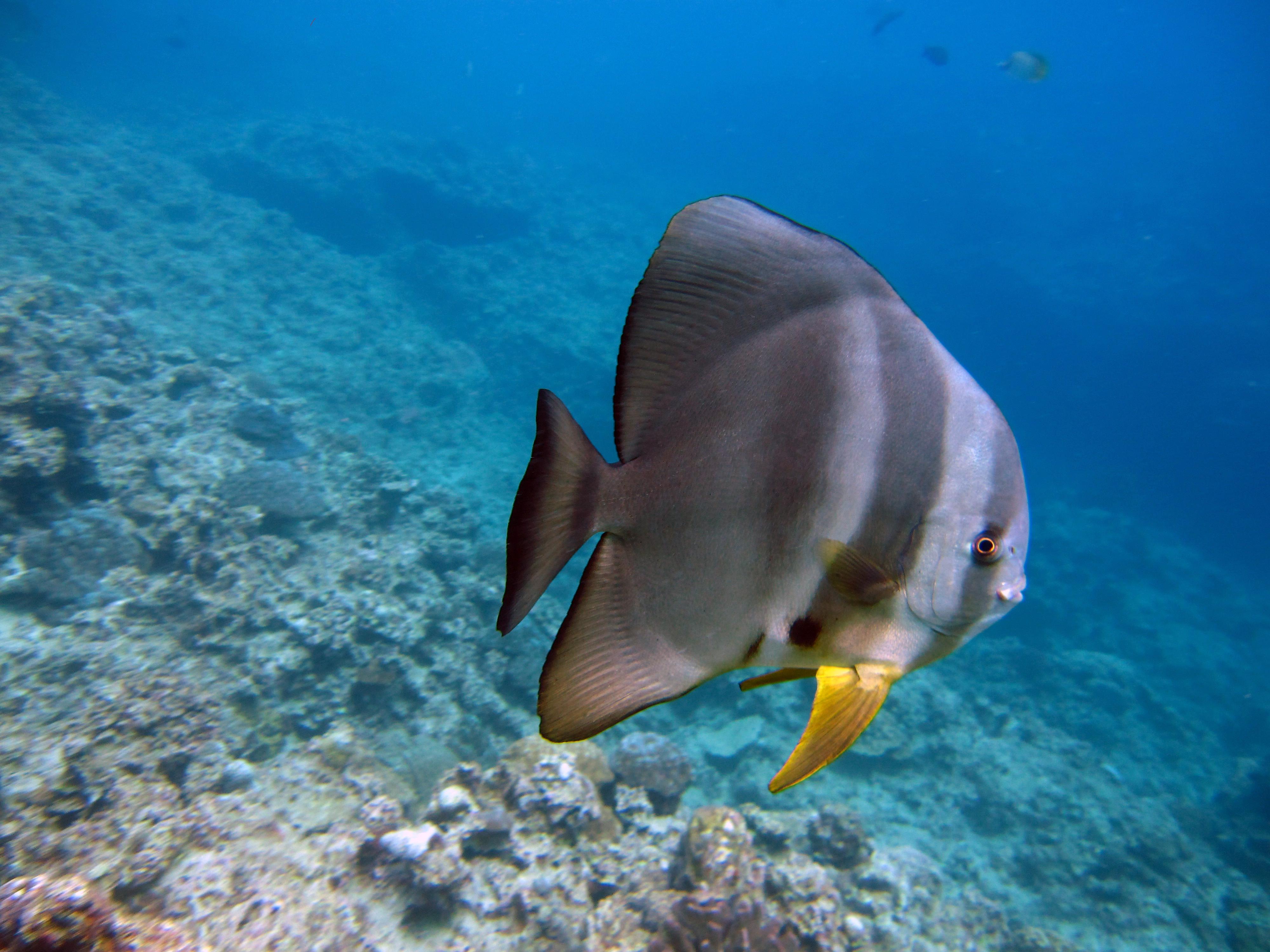 Image of Blunthead batfish