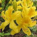 Image of Yellow Azalea