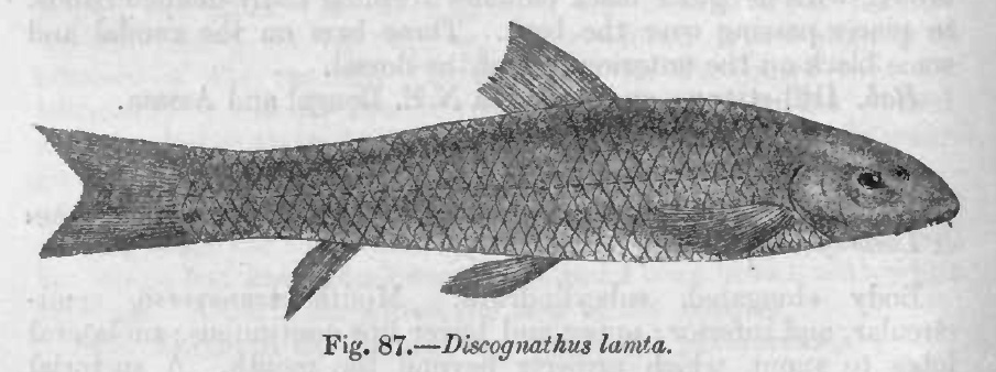 Image of Lamta garra