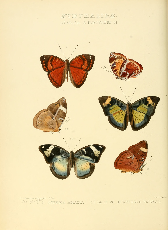 Image of <i>Bebearia eliensis</i>