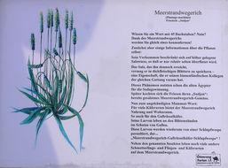 Image of Seaside Plantain